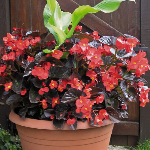 Begonia Big Red with Bronze Leaf