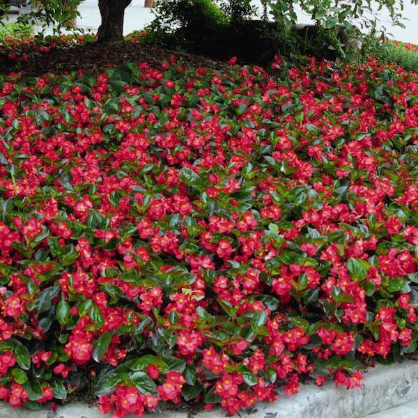 Begonia Big Red with Green Leaf