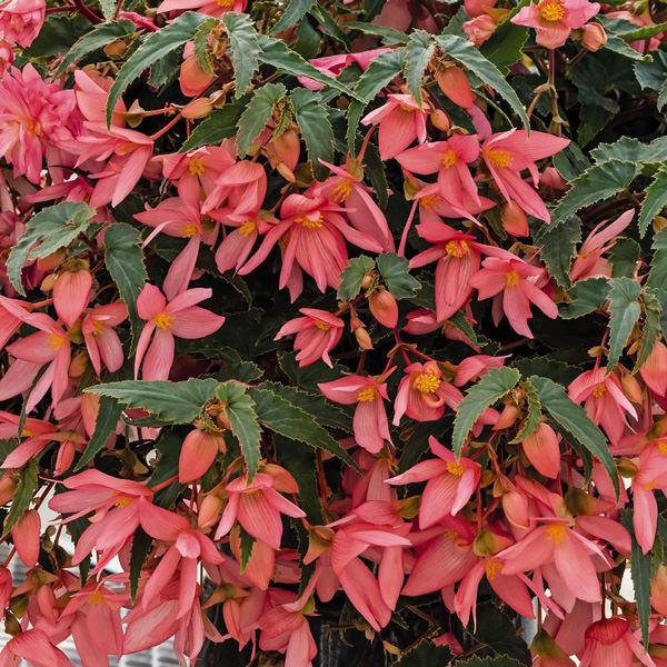 Begonia, Funky Pink