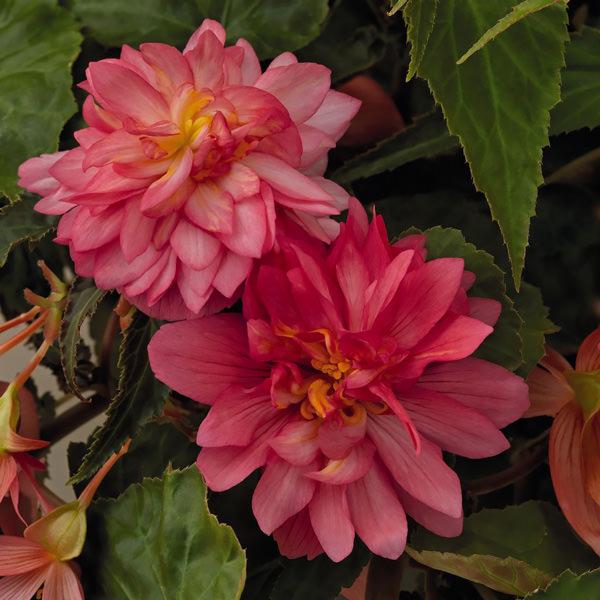 Funky Pink begonias
