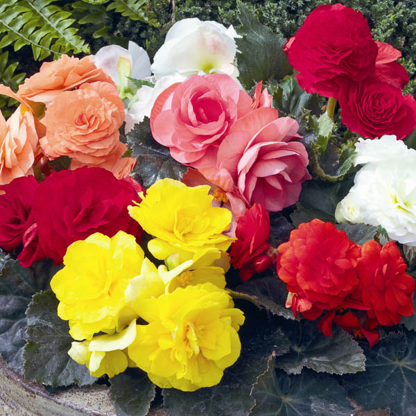 Begonia Go Go Mix - annual flower seeds.