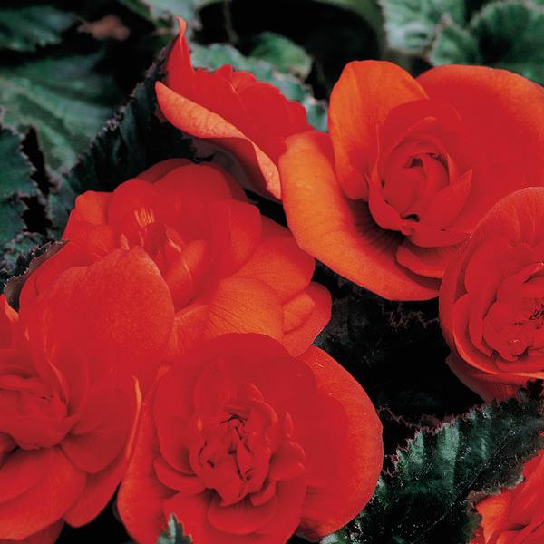 Go-Go Orange tuberous begonia seeds