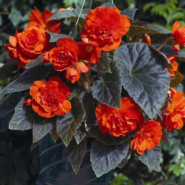 Begonia Go Go Orange  - annual flower seeds.