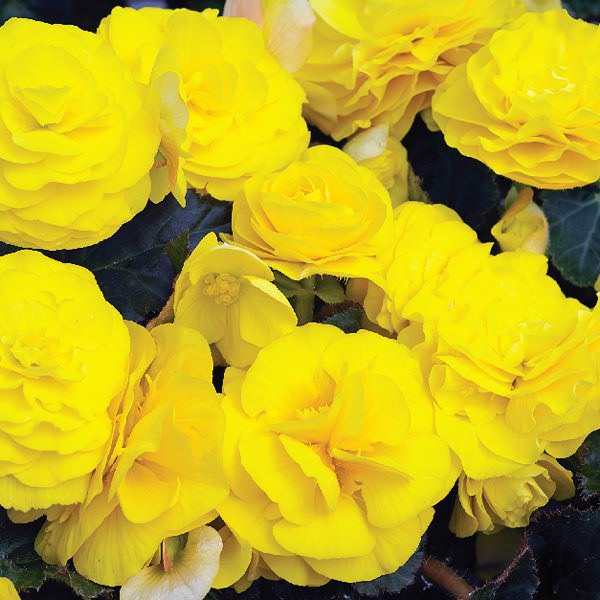 Begonis Go Go yellow - annual flower seeds.