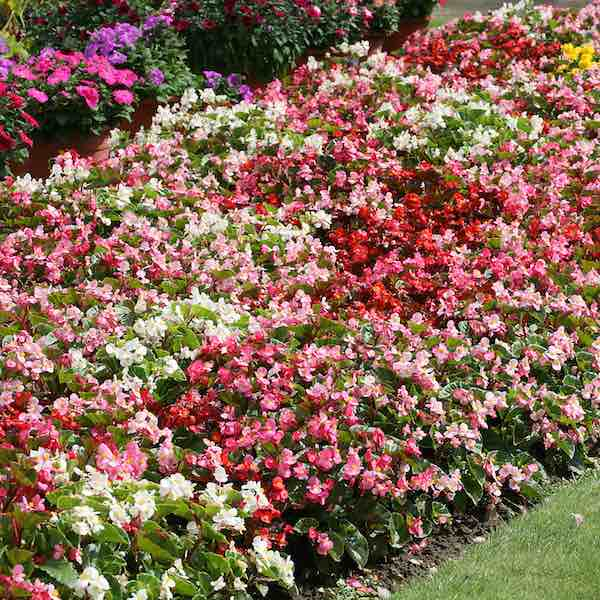 Begonias Heat Elite Mix wax begonia