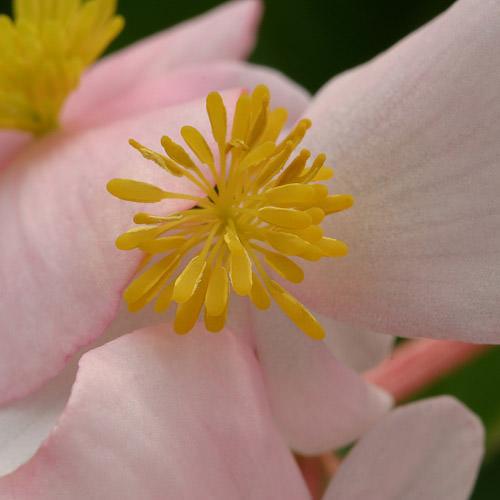 Heat Elite Pink wax begonia