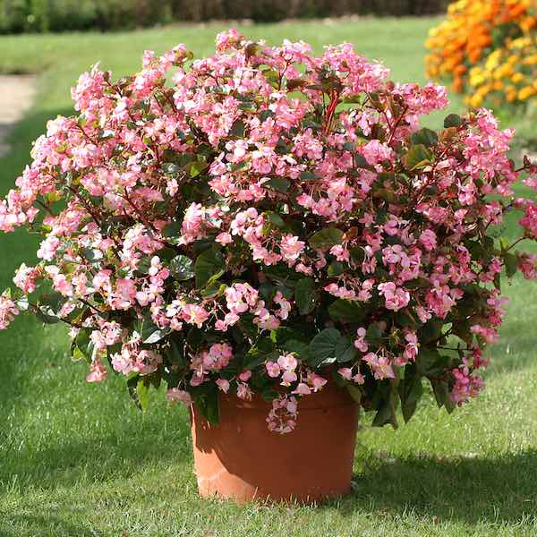 Begonias Heat Elite Rose wax begonia