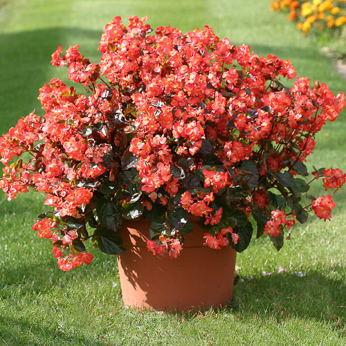 Begonias Heat Elite Scarlet wax begonia