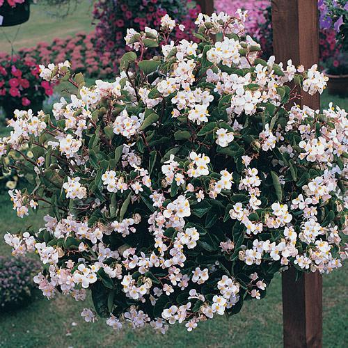 Begonias Heat Elite White begonia  wax begonia - annual flower seeds