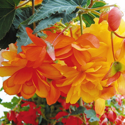Illumination Apricot begonias in hanging basket