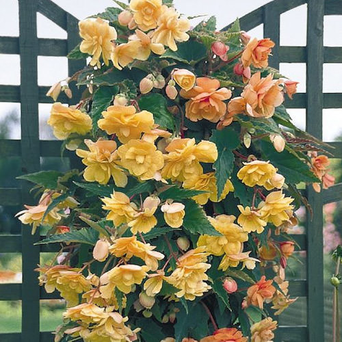 Illumination Apricot begonia in shades of peach and tropical orange - annual flower seeds.