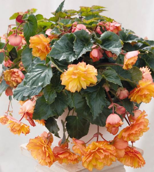 Illumination Golden Picotee Begonia - annual flower seeds