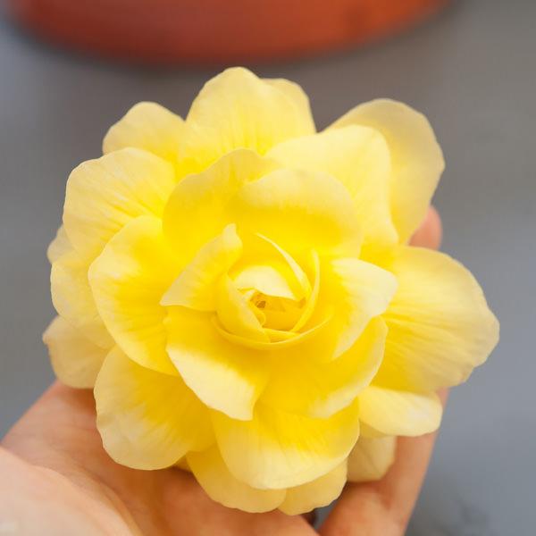 Begonia tuberous, Illumination Lemon