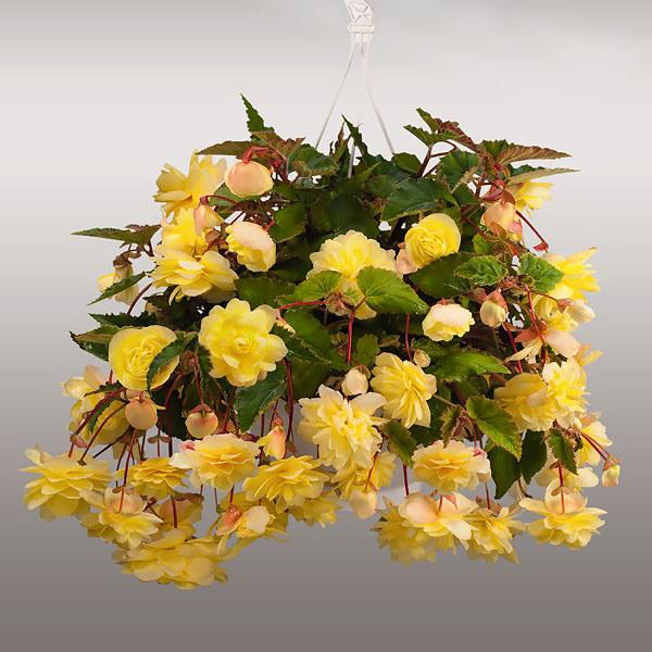 Illumination Lemon begonias in hanging basket