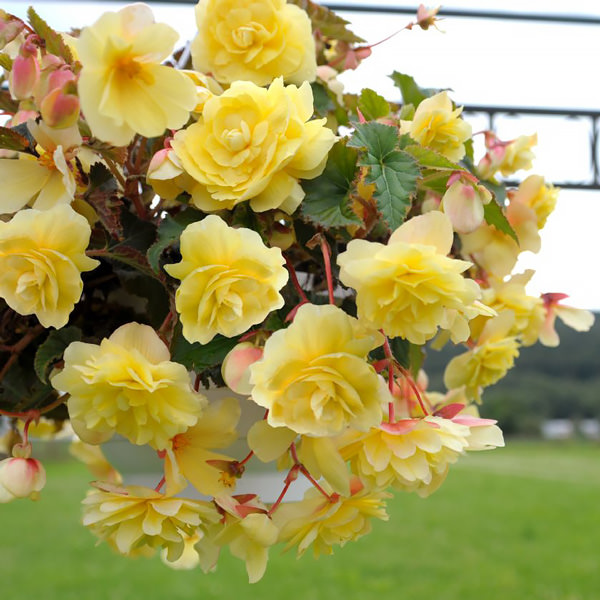 Illumination Lemon tuberous begonia seeds