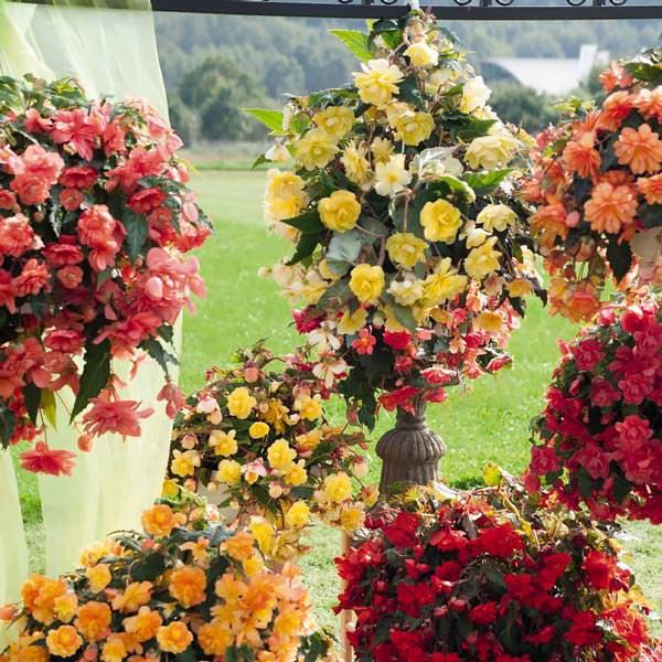 Begonia tuberous, Illumination Mix