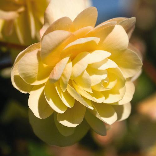 Tuberous begonia Illumination Peaches 'n Cream
