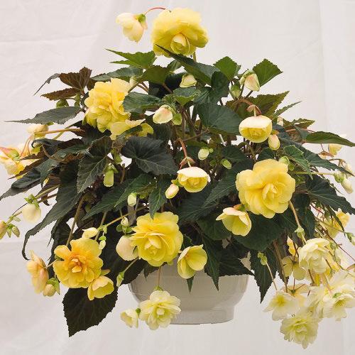 Begonia tuberous Illumination Peaches 'n Cream