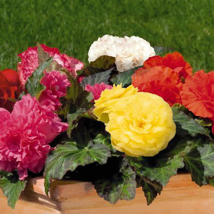 Ten colors of Non-Stop begonia blooms - annual flower seeds.