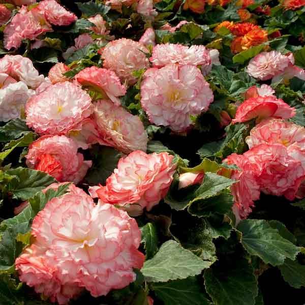Begonia tuberous Non-Stop Rose Petticoat