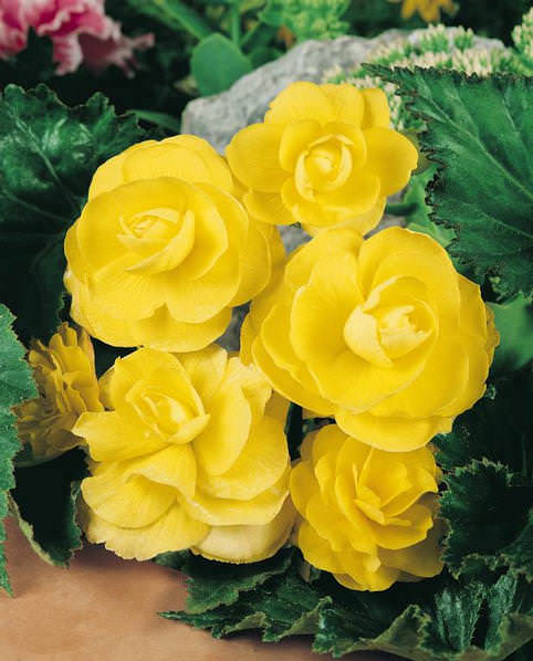 Vivid yellow flowers of Nonstop yellow begonia - annual flower seeds.