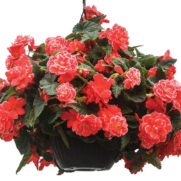 Begonia On Top Melon Lace plant