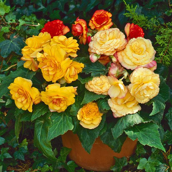 Begonia On Top Sunset Shades plant