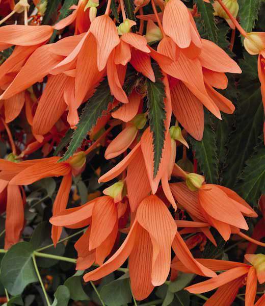 Begonia San Francisco - Begonia boliviensis - annual flower seeds.