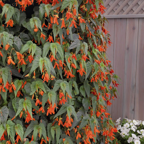 Santa Cruz Sunset begonia - Begonia boliviensis