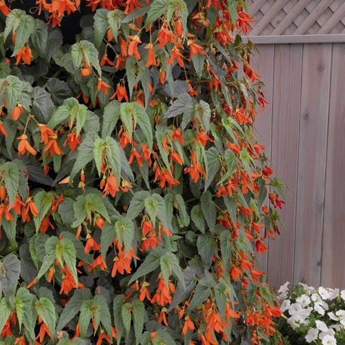 Begonia Seeds 14 Begonias Annual Flower Seeds