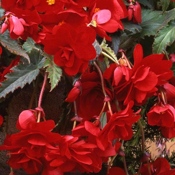 Begonia Sun Dancer Red