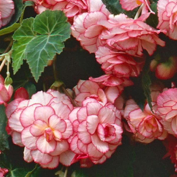 Begonia Sun Dancer White Pink Picotee