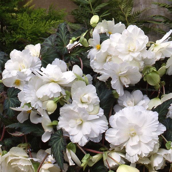 Begonia Sun Dancer White