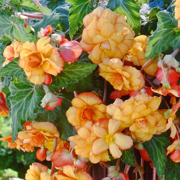 Begonia Sun Dancer Yellow Red Picotee