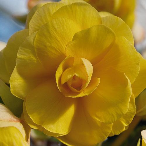 Tuberous begonia, Illumination Apricot