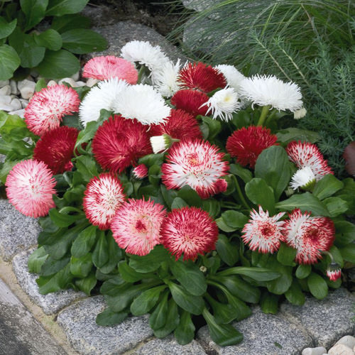 English Daisy Habanera Mix - Bellis perennis lawn daisy