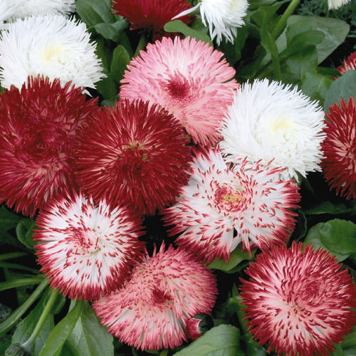 English daisy seeds bellis perennial flower seeds english daisy habanera mix bellis perennis lawn daisy mightylinksfo