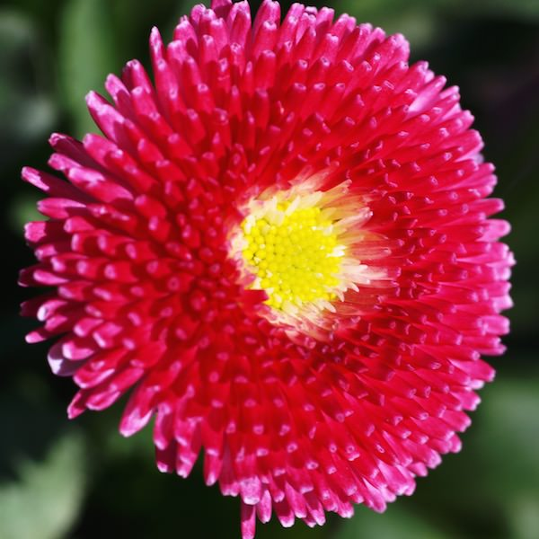 English daisy Super Enorma - Bellis perennis lawn daisy