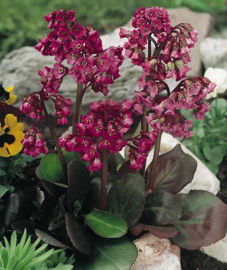 Bergenia Red Beauty - Bergenia crassifolia