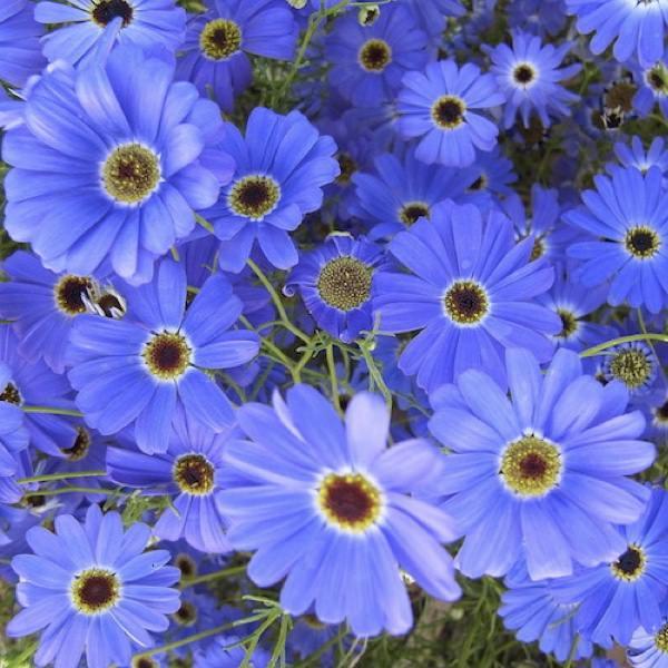 Blue Splendor brachycome seeds