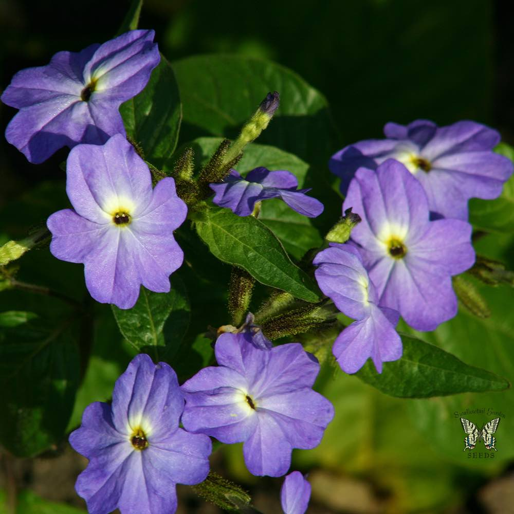Browallia Seeds For Sale Amethyst Flower Annual Flower Seeds