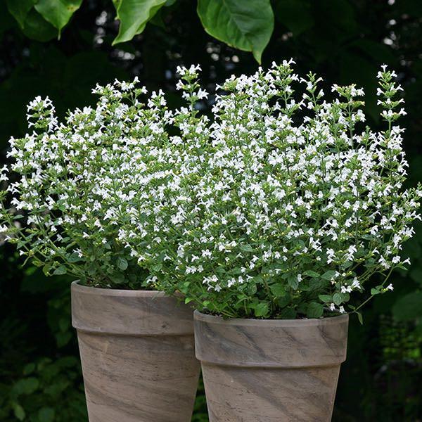 Calamintha Marvelette White - Calamintha nepeta