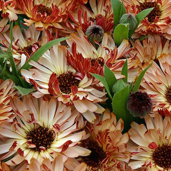 Calendula Bronzed Beauty - Annual Flowers.