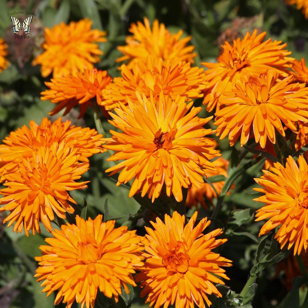 Calendula Calexis Orange - Annual Flowers.