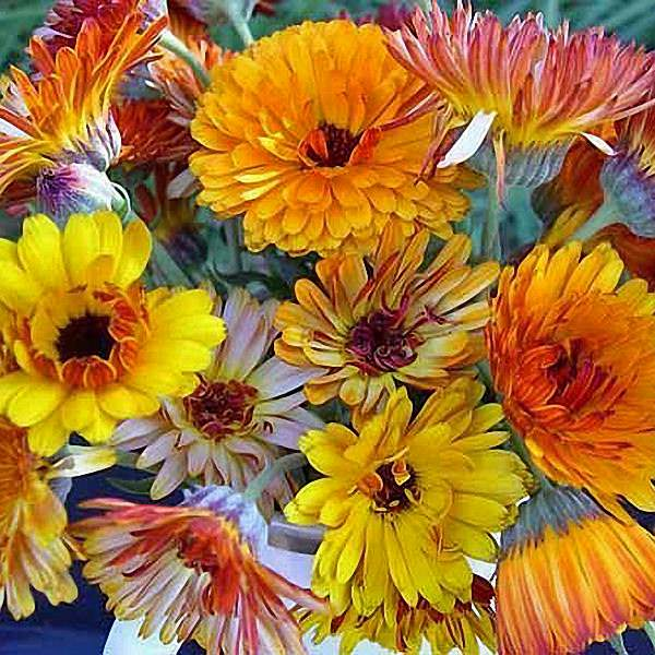Calendula Flashback Mix