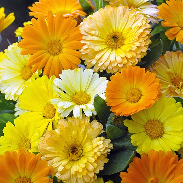 Calendula Fruit Twist - Annual Flowers.