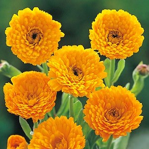 Calendula Gold Star