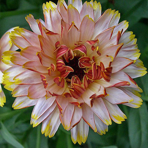 Calendula Solar Flashback Mix - Annual Flowers.