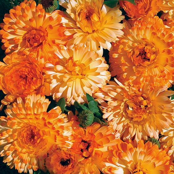 Tangerine Cream Calendula flowers - Annual Flower Seeds