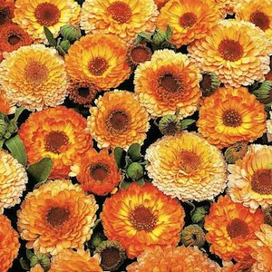 Calendula, Pink Surprise ruffled gold and yellow flowers with pink tinge - Annual Flower Seeds.